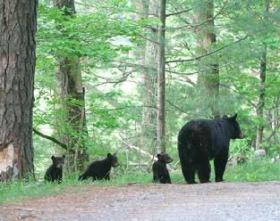 Smokey Mountain Black Bear moma with three small cubs.also, available feeding cubs
