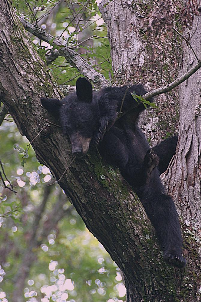 Black Bear guards are young while they prepare for Fall